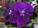 Стрептокарпусы сортовые цветущие розетки, детки, фрагменты листа