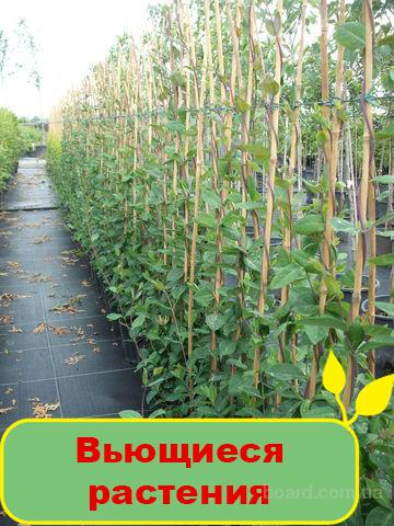 Продам вьющиеся растения