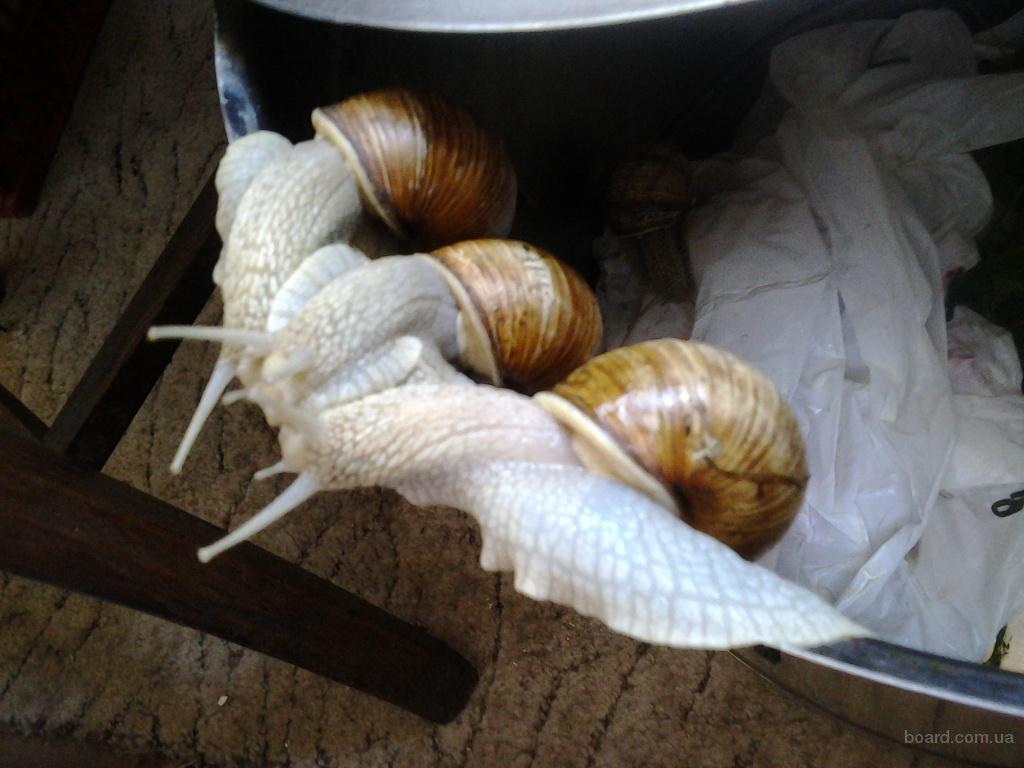 Выращивание улиток в литве 87
