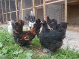 Инкубационные яйца, цыплята куры