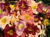 Лилейник садовый гибридный