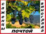 Саженцы 2-х летние лучших 90 десертных сортов винограда разного срока созревания-почтой во все регионы России.