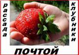 Рассада клубники (земляники)новейшего крупноплодного сорта Чамора Куруси укорененная в стаканчиках 0,5 л.