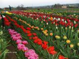 Продам луковицу тюльпана 50 сортов