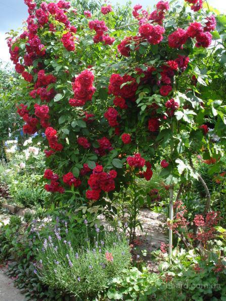 Садовые многолетники и кустарники из своего сада