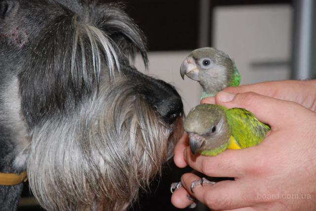 Сенегальчик - ручные полностью попугаи сенегальские желто- и оранжево-грудые, мальчишки и девчонки. Птенчики собственного разведения,