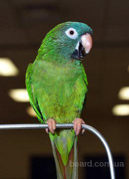 Аратинга острохвостый (Aratinga acuticaudata)- птенцы возрастом от 3,5 мес, ручные, окольцованные