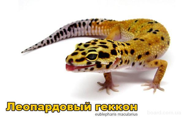 Продам ящерицы Леопардовый геккон (эублефар)