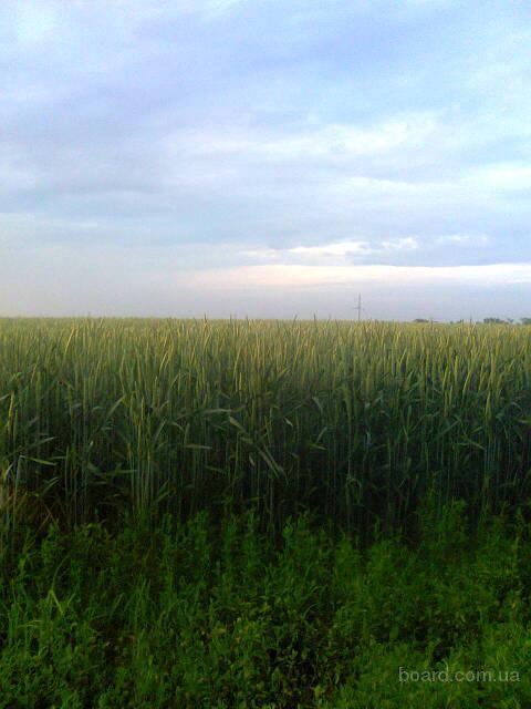 Репродукция импортных семян пшеница двуручка, ячмень двуручка, кориандр двуручка
