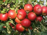 Организация купит яблоко на переработку