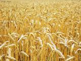 Куплю пшеницу и ячмень, дорого.