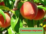 Персик. Купить саженцы персика