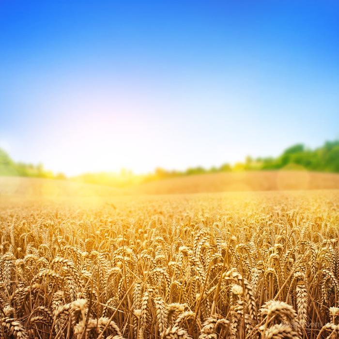 Продам продовольственную пшеницу 2,3 класса