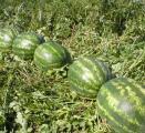 Арбузы оптом по 5 руб/кг, сорт Атаман F1, урожай 2014