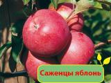 Яблоня. Саженцы яблонь