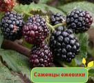 Ежевика. Купить саженцы ежевики в садовом интернет-магазине Greensad