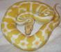 Питон королевский альбинос- Python regius albino