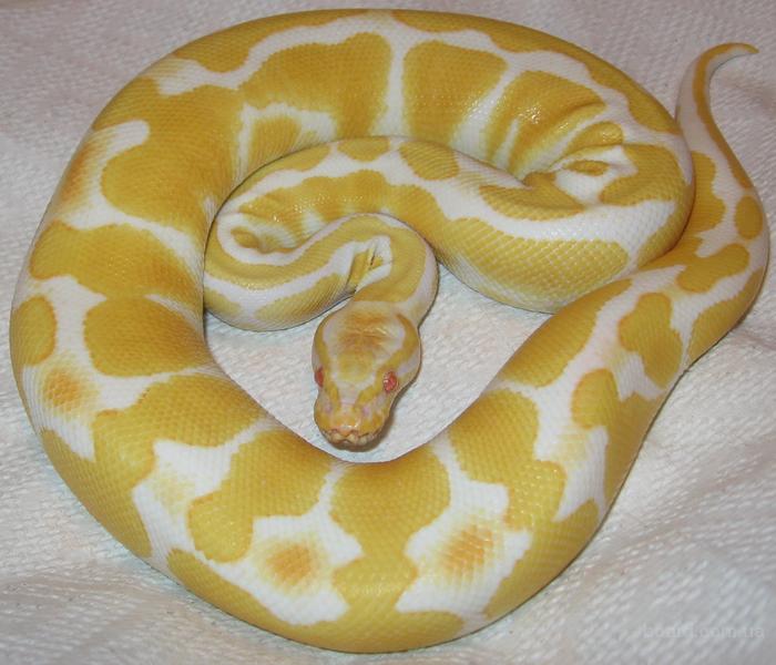 Питон королевский альбинос