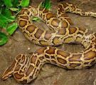 Питоны тигровые ( Python mоlurus )