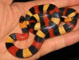 Королевская змея Кэмпбелла ( Lampropeltis triangulum campbelli )