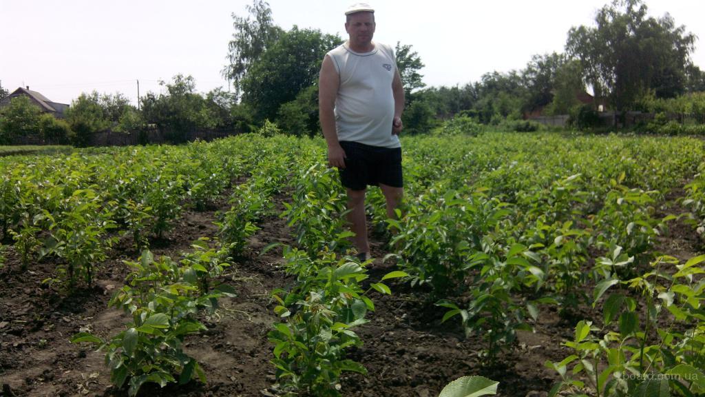 Выращивание на даче фундука 60