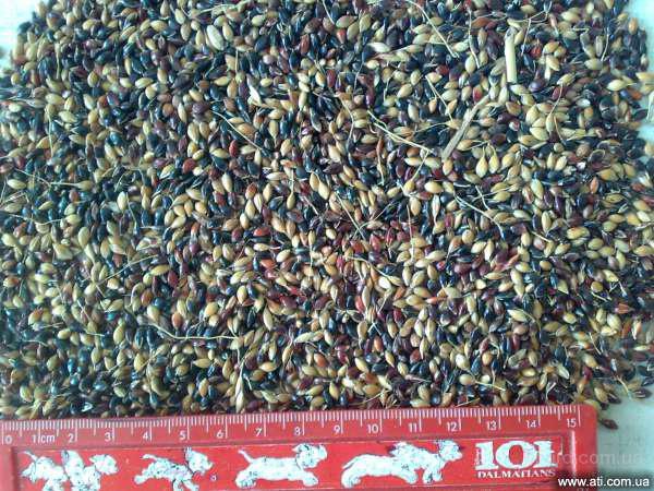 Суданка. Насіння суданки Голубівська. Від виробника (семена суданской травы)