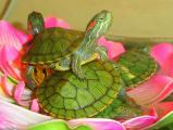 Доставка аквариумных красноухих черепашек по Киеву