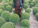 Самшит вечнозелёный ШАР 40-50 см