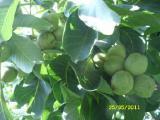 Саженцы грецкого ореха Идеал