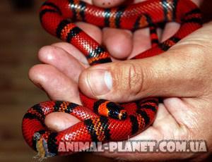 Цветные неядовитые молочные королевские змеи  Королевская молочная змея пиромилана от 28 см и больше