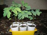 Гинкго билоба лист сушенный и саженцы