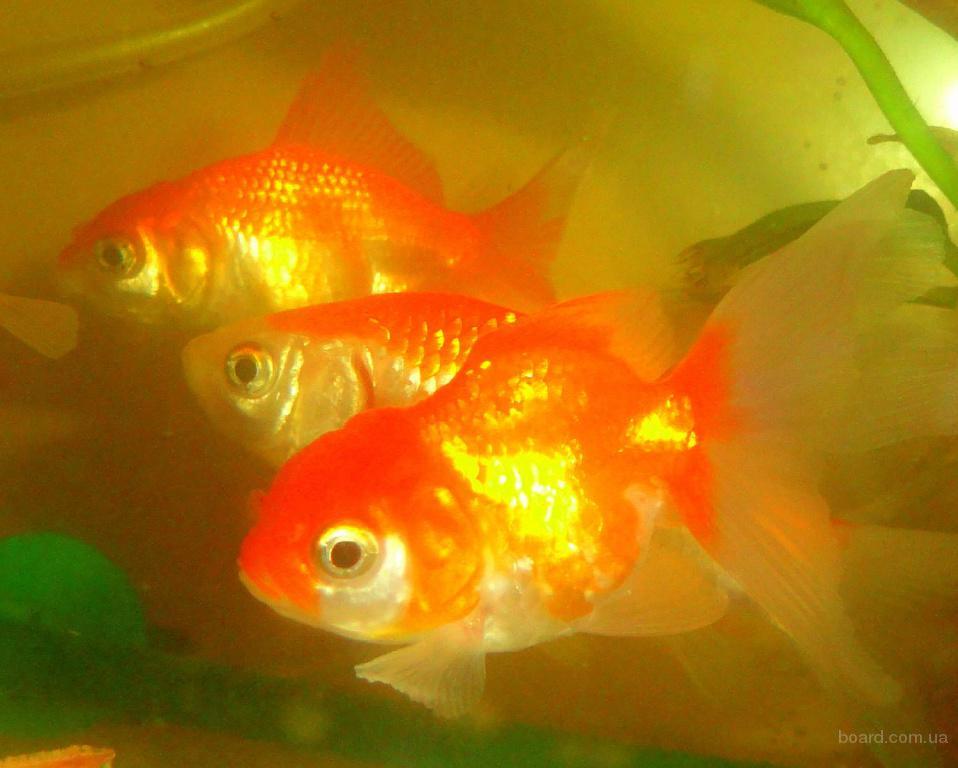 Продажа аквариумных золотых рыбок! Доставка по Киеву!