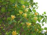Тюльпанное дерево, высота 4 м, продам