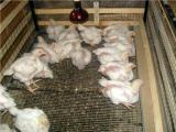 Подрощенные цыплята бройлер и профессиональные корма для них