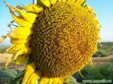 Продам насіння соняшника гібрид Аламо F1