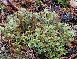 Исландский мох.Цетрария.