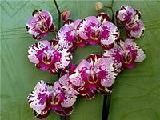 продам кактусы орхидеи комнатные цветы и многолетние цветы для сада