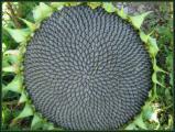 Семена подсолнечника, гибриды подсолнечника, семена кукурузы, гибриды кукурузы, сзр, удобрения
