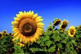 Семена подсолнечника pioner пионер, syngenta сингента, limagreyn лимагрейн, may seed, сербская селекция, французская