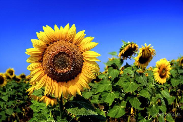 Семена подсолнечника, гибриды подсолнечника, гибриды кукурузы, СЗР, удобрения