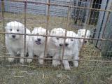 Чистокровные щенки среднеазиатской овчарки (алабай)