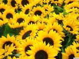 Насіння соняшника Гібрид Октава