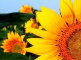 Насіння соняшника Гібрид Дует