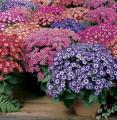 цветы на 8 марта и 14 февраля цинерария, примула обконика, цикламен