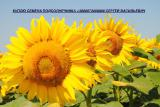 семена подсолнечника семка насіння соняшника