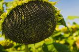 Найкращі зразки насіння соняшника.