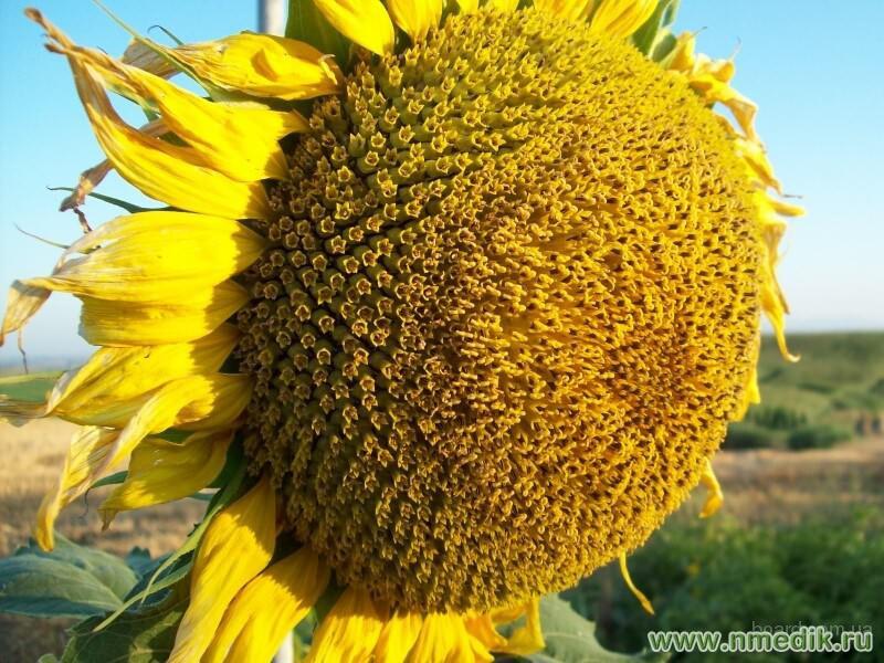 """Найкраще насіння соняшнику """"Український F-1"""