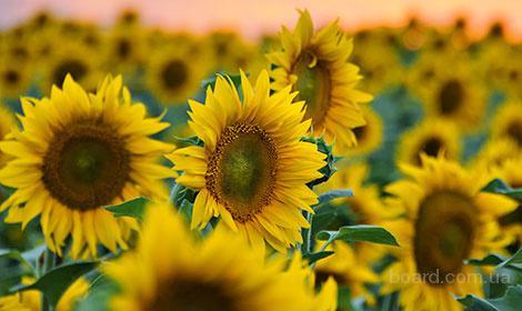 """Найкращій гібрид соняшника """"Українське сонечко""""!"""