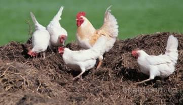 Навоз (удобрение) - куриный