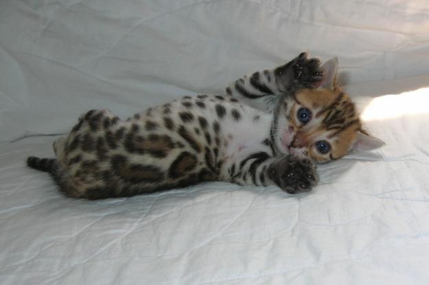 Бенгальские котята , коты